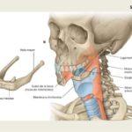 La importancia del hueso hioides